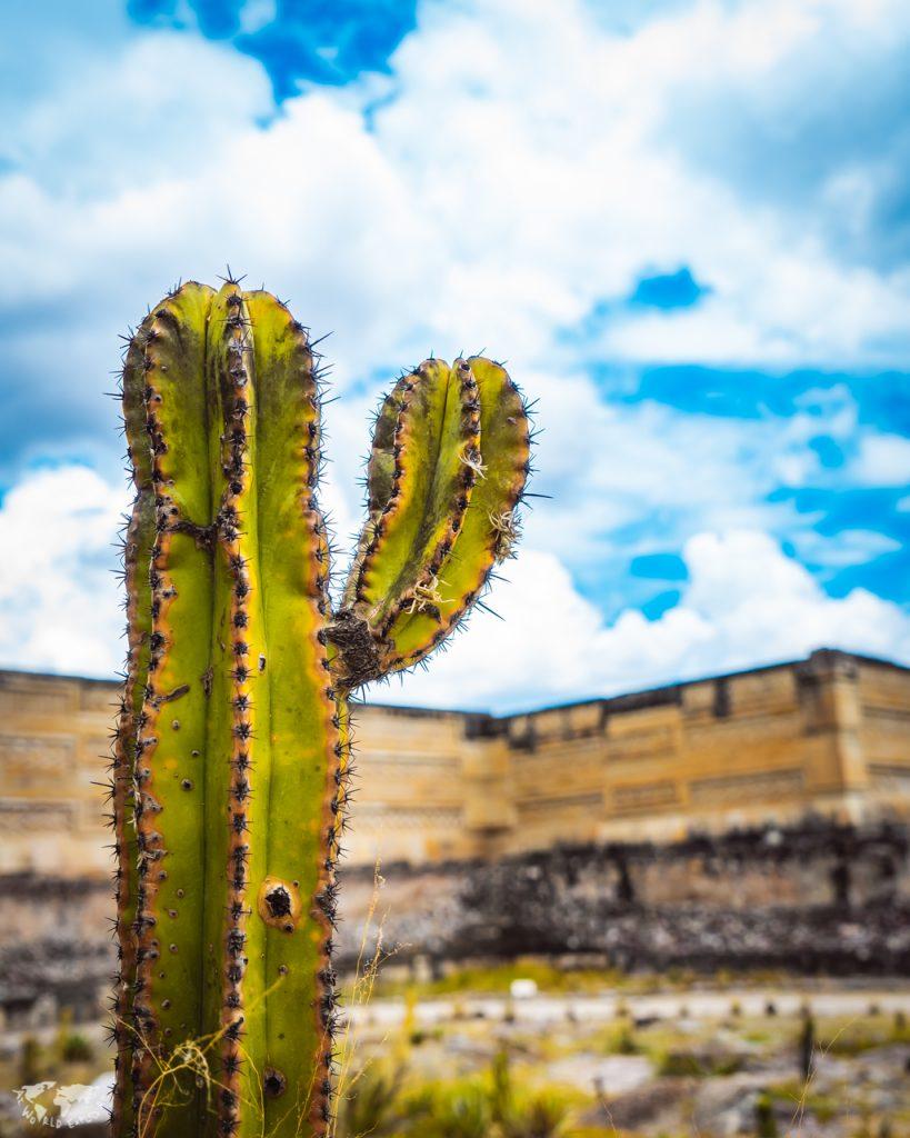 オアハカのミトラ遺跡の前のサボテン