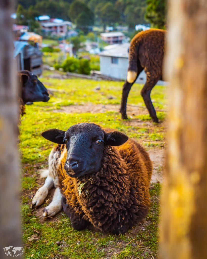オアハカクアヒモロヤの羊